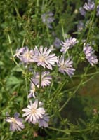 By Loch Ness, Shenval organic garden, chicory flowers