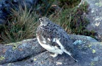 Ptarmigan hen, Glen Affric hills west of Shenval B&B
