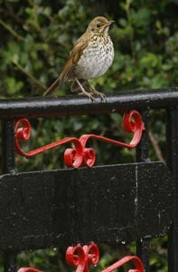 Song thrush at the gate of Shenval B&B Loch Ness © Michel Carré