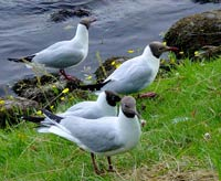 Moray Firth black-headed gulls near Shenval B&B © Alain Vermeulen