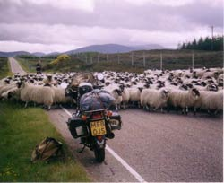 on the way to Shenval B&B Highland sheep rush hour © Jan Smeele
