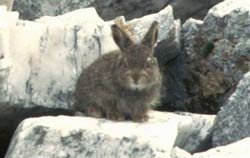 mountain hare, Affric Munros, near Shenval B&B