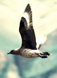 Great skua, Handa Island Shenval Bed&Breakfast daytrip Scottish Highlands